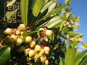 μέλισσα πάνω σε άνθος κουμαριάς-κουμαριά